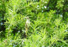 Little brown bird on tree branch, Lithuania royalty free stock image