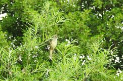 Little brown bird on tree branch, Lithuania stock image