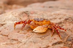 Beautiful small brown-yellow crab on a stone near the sea stock image