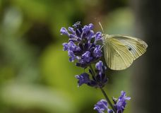 A butterfly feeding on the sweet nectar. A beautiful but small butterfly sitting in the sun and feeding on sweet nectar of the lavender plant Royalty Free Stock Photography