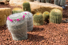 Beautiful small cactus and flower blooming. In the garden stock photography