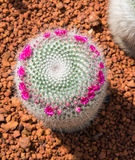 Beautiful small cactus and flower blooming. In the garden royalty free stock photo