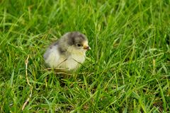 Beautiful small chick in green grass Royalty Free Stock Image