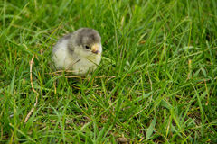 Beautiful small chick in green grass Royalty Free Stock Photo