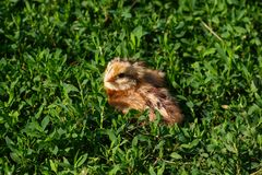 Beautiful small chick in the green grass Royalty Free Stock Photography