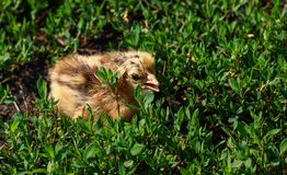Beautiful small chick in the green grass Stock Photo