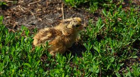 Beautiful small chick in the green grass Stock Images