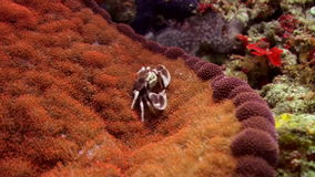 Beautiful small crabs on surface of an anemone. Amazing, beautiful underwater world Bali Indonesia and  life of its inhabitants, creatures and diving, travels stock footage