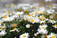 Beautiful small daisy, white and yellow. Lots of beautiful small daises somewhere in a field. Good quality, large image size, true colors and natural light Royalty Free Stock Photo