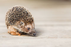 Beautiful Small Funny Hedgehog Standing On Stone Royalty Free Stock Image