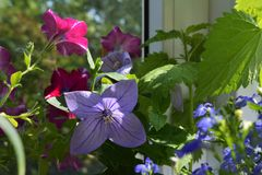 Beautiful small garden on the balcony. Violet flower of platycodon grandiflorus with four petals and pink blooming petunia.  royalty free stock photo