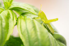 Beautiful Small Green Grasshopper Close-Up Resting On Basil Leav Stock Photo