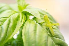 Beautiful Small Green Grasshopper Close-Up Resting On Basil Leav Royalty Free Stock Image