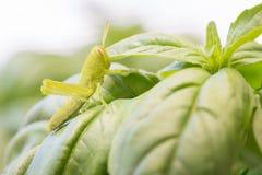 Beautiful Small Green Grasshopper Close-Up Resting On Basil Leav. Es Macro Royalty Free Stock Image
