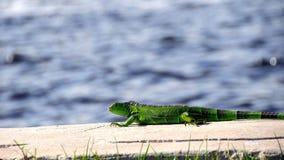 Beautiful  small green iguana near water Stock Image