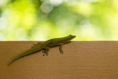 Beautiful small green lizard on brown desk Royalty Free Stock Photos