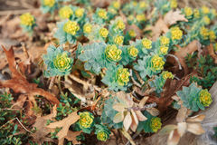 Beautiful small green yellow succulents cactus on earth in flowerbed, on sunset. Group of many beautiful small green yellow succulents cactus on earth in Royalty Free Stock Image