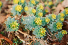 Beautiful small green yellow succulents cactus on earth in flowerbed, on sunset. Group of many beautiful small green yellow succulents cactus on earth in Royalty Free Stock Photography