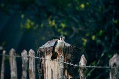 A beautiful hawk posses for the camera near Trinidad, Cuba. royalty free stock images