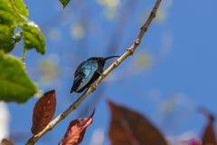 Beautiful small hummingbird  perching on a tree branch  Eulampis jugularis Royalty Free Stock Photography