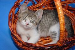 Beautiful Small kitten resting in wicker basket Royalty Free Stock Photos