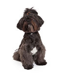 Beautiful Small Mixed Breed Dog Sitting Stock Image
