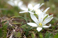 Beautiful and small mountain flower Royalty Free Stock Photography