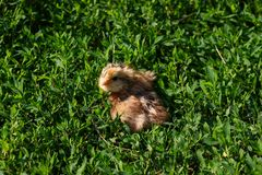 Beautiful small chick in the green grass Stock Photos