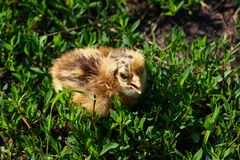 Beautiful small chick in the green grass Stock Photography
