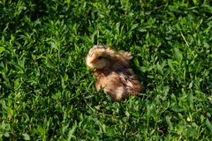 Beautiful small chick in the green grass Royalty Free Stock Image