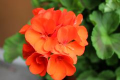 Lovely Small Orange Flowers Growing in a Cluster royalty free stock image