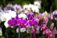 Beautiful small orchids of different colors royalty free stock photo