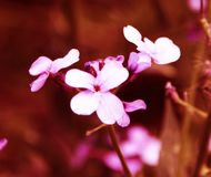 Beautiful small pink flowers on the flower bed royalty free stock photography