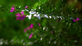 Beautiful small pink flowers. Macro video with. Beautiful small pink flowers. Macro blurred video with shift stock footage