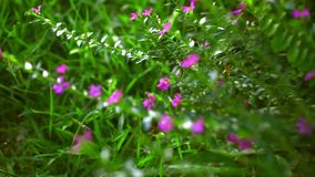 Beautiful small pink flowers. Macro video with. Beautiful small pink flowers. Macro blurred video with shift stock video