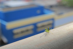 Beautiful small praying mantis Stock Images