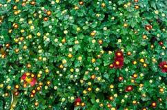 Beautiful small red chrysanthemum flowers. Texture of flowers wallpaper beautiful background Stock Image