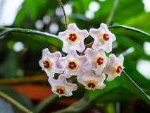 Beautiful small star shaped flowers of wax plant royalty free stock images