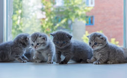 Beautiful small striped kittens on window sill. Scottish Fold breed. Royalty Free Stock Photo