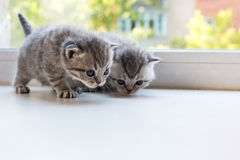 Beautiful small striped kittens on window sill. Scottish Fold breed. Stock Images