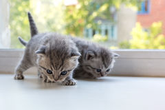 Beautiful small striped kittens on window sill. Scottish Fold breed. Royalty Free Stock Photos
