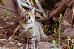 The cat that walks by itself. Beautiful small tabby cat with an interesting color, smart eyes captured in moment royalty free stock photography