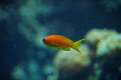 Beautiful small tropical fish in coral reef. Beautiful small tropical orange fish on coral reef. Mediterranean Sea stock photo