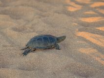 Beautiful small turtle crawling on the sand near the sea. Stock Photography