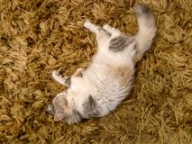 Beautiful small white cat sleeping on a brown carpet stock photography