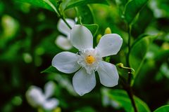 Beautiful small white flower in the garden Stock Images