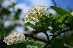 Beautiful small white flowers of black chokeberry on a branch stock photography