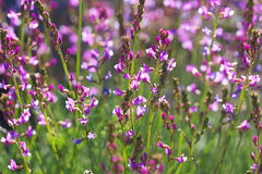 Beautiful small wildflowers close up Royalty Free Stock Images