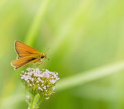 Beautiful small yellow butterfly Royalty Free Stock Photography