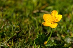 Beautiful small yellow flower in green grass and sunlight. Colorful fresh plants. stock photo
